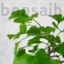 Kép 2/3 - Ginkgo biloba (Páfrányfenyő) bonsai, lomb