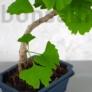 Kép 3/3 - Ginkgo biloba (Páfrányfenyő) bonsai, törzs