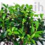 Kép 2/3 - Ilex (Japán magyal) bonsai, lombkorona