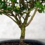 Kép 3/3 - Ilex (Japán magyal) bonsai, törzs