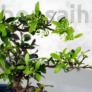 Kép 2/2 - Ilex (Japán magal) bonsai