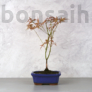 Kép 1/3 - Acer (Juhar) bonsai