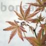 Kép 2/3 - Acer (Juhar) bonsai