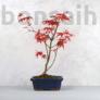 Kép 1/2 - Acer (Juhar) bonsai