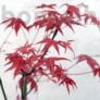 Kép 2/2 - Acer (Juhar) bonsai
