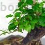 Kép 2/3 - Ligustrum chinesis (Kínai fagyal) bonsai, lomb
