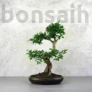 Kép 1/3 - Ligustrum chinesis (Kínai fagyal) bonsai