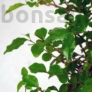 Kép 3/7 - Ligustrum chinesis bonsai lombja