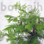 Kép 3/3 - Metasequoia (Mamutfenyő) bonsai, lomb