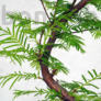 Kép 2/3 - Metasequoia (Mamutfenyő) bonsai, törzs
