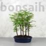 Kép 1/4 - Metasequoia (Mamutfenyő) bonsai