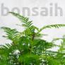 Kép 3/4 - Metasequoia (Mamutfenyő) bonsai, lomb