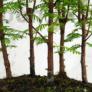 Kép 2/4 - Metasequoia (Mamutfenyő) bonsai, törzs