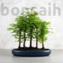 Kép 1/3 - Metasequoia (Mamutfenyő) bonsai