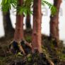 Kép 4/4 - Metasequoia (Mamutfenyő) bonsai, törzs