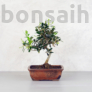 Kép 1/4 - Olea (Olajfa) bonsai