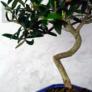 Kép 3/4 - Olea (Olajfa) bonsai törzse