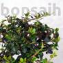 Kép 2/4 - Olea (Olajfa) bonsai lombozata