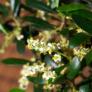 Kép 4/4 - Olea (Olajfa) bonsai virága