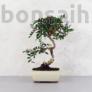 Kép 1/3 - Pistacia lentiscus (Pisztácia) bonsai