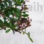 Kép 3/3 - Pistacia lentiscus (Pisztácia) bonsai