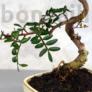 Kép 2/3 - Pistacia lentiscus (Pisztácia) bonsai