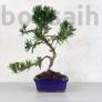 Kép 1/3 - Podocarpus (Kőtiszafa) - hajlított törzsű, 15 cm