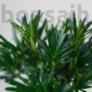 Kép 2/3 - Podocarpus (Kőtiszafa) - hajlított törzsű, 15 cm
