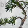 Kép 3/3 - Podocarpus (Kőtiszafa) - hajlított törzsű, 15 cm