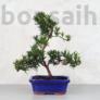 Kép 1/3 - Podocarpus (Kőtiszafa) - hajlított törzsű, 20 cm