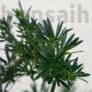 Kép 2/3 - Podocarpus (Kőtiszafa) - lomb