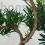 Kép 3/3 - Podocarpus (Kőtiszafa) - törzs