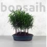 Kép 1/3 - Podocarpus (Kőtiszafa) - erdő, 20 cm