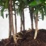 Kép 3/3 - Podocarpus (Kőtiszafa) - hajlított törzsű, 20 cm