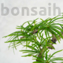 Kép 3/3 - Pseudolarix (Kínai aranyfenyő) bonsai, lomb