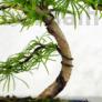 Kép 2/3 - Pseudolarix (Kínai aranyfenyő) bonsai, törzs