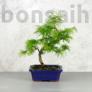 Kép 1/3 - Pseudolarix (Kínai aranyfenyő) bonsai