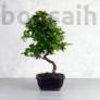 Kép 1/4 - Pyracantha (Tűzövis) bonsai - hajlított törzsű