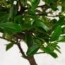 Kép 2/4 - Pyracantha (Tűzövis) bonsai, lomb