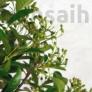 Kép 4/4 - Pyracantha (Tűzövis) bonsai, termés kezdemény