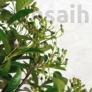 Kép 5/6 - Pyracantha (Tűzövis) bonsai, termés kezdemény