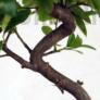 Kép 4/6 - Pyracantha (Tűzövis) bonsai, törzs
