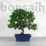 Kép 2/5 - Pyracantha (Tűzövis) bonsai, termés nélkül