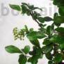Kép 4/5 - Pyracantha (Tűzövis) bonsai, lomb