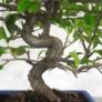 Kép 5/5 - Pyracantha (Tűzövis) bonsai, törzs