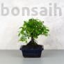 Kép 1/3 - Sagaretia (Kínai édesszilva) bonsai