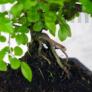 Kép 3/3 - Sagaretia (Kínai édesszilva) bonsai