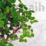 Kép 2/3 - Sagaretia (Kínai édesszilva) bonsai