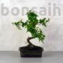 Kép 1/3 - Sageretia (Kínai édesszilva) bonsai