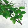 Kép 3/6 - Sageretia bonsai lombja